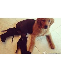 most outrageous dog costumes in the world, dogs dressed in pantyhose Dog Wearing Pantyhose, Funny Animal Videos, Funny Animal Pictures, Funny Animals, Cute Animals, Animal Funnies, Funny Costumes, Pet Costumes, Pets