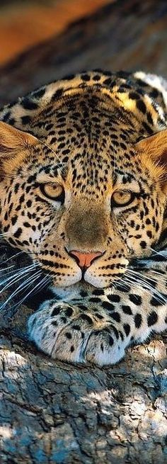 Leopard resting head on its paws
