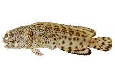 Opistognathus Darwiniensis JBH