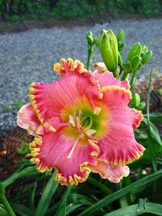 Hemerocallis (Daylily)  DIVAS CHOICE