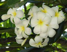 Plumeria... aka kalachuchi :  )