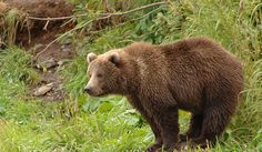 Image result for huge northern bear