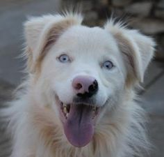 Crystal is deaf and in need of a loving home!!   Animal Details Crystal (Deaf)Animal ID 18798240 Species Dog Breed Border Collie/Australian Shepherd Age 3 years 13 days Sex Female Size Medium Color Tan Spayed/Neutered Declawed No Housetrained Yes Site Adoptions Location Adoption Center Intake Date 12/27/2012  Greenville county animal care services in Greenville SC