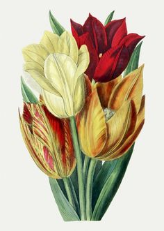 Vintage Tulips Botanical Art Canvas Art by BelleBotanica Botanical Illustration, Botanical Prints, Victorian Illustration, Nature Illustration, Sibylla Merian, Yellow Tulips, Free Illustrations, Warm Colors, Collage Sheet