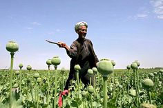 Economy: The laws in Afghanistan are fragile across the country. This is a picture of a man in Afghanistan cutting opium. Afghanistan is the top opium producer in the world.