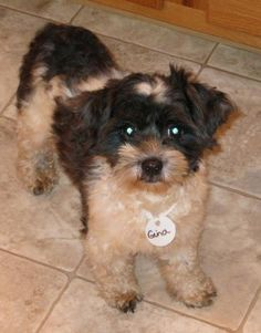 """Jenny, a 3 year old Havanese puppy mill survivor, petite girl, weighing less than 10 pounds. She is very shy and is currently with foster mom Lisa getting some great lovin'. She will require a bit more time in foster care to learn to trust. The breeder described her as """"a freaky little dog that doesn't like people."""" Well, perhaps if they were thrown into a cage to be used for breeding, they wouldn't like people very much either! She's going to be just fine now! Safe Haven Bichon & Friends…"""