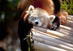 Hands handle sleeping red panda photography
