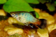 Rainbow Wag Platy Fish