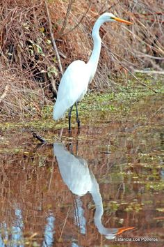 Estancia Los Potreros, Argentina. This is a Great Egret, who came down to watch some polo this morning - we don't often see them as they prefer wetter land so this was a real privilege