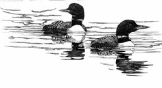 common loon - Google Search