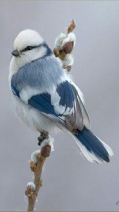 Jaiden is my personal blue bird 💙 White Blue Tit (Songbird) Parus Cyanus throughout Russia & Central Asia Pretty Birds, Love Birds, Beautiful Birds, Animals Beautiful, Cute Animals, Funny Animals, Beautiful Pictures, Pretty Animals, Birds 2