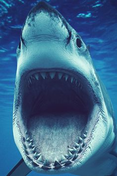 Great White. - Photo: Denis Scott - Absolutely fantastic shot!!!