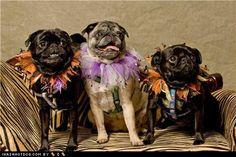 Happy Pug-oween