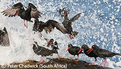 Peter Chadwick - Taking Off; African black oystercatchers - they are endangered.