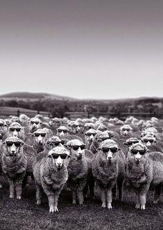 Encore, un chasseur Ouatouais mort de faim... Suite à la mode des lunettes de soleil lancée par une brebis pyrénéenne à son retour de croisière, les loups meurent de faim. L'incognito des troupeaux dépite leurs prédateurs qui ne reconnaissent plus leur pâture. La Ligue de Protection des Dindons Sauvages de l'Ouatouais inspirée par le phénomène français a équipé ses volatils de lunettes noires pour les soustraire à l'acharnement des chasseurs Québécois...
