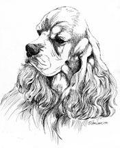 "Cocker Spaniel Drawings   American Cocker Spaniel Art ""Ascob Portrait"" Limited Edition Print ( Buddy )"