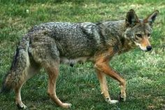 In Native American folklore, the coyote is often known as the trickster. Coyotes are extremely adaptable & thrive in many habitats, ranging from mountains to deserts.
