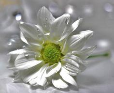 Päivänkakkarakrysantemia, daisy