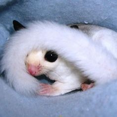 Image result for sugar glider cat