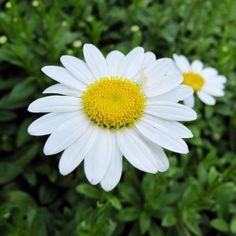 Wordless Wednesday—Summer Days and Daisies Shasta Daisies, Summer Days, Garden Plants, Alaska, Daisy, Shopping, Plant, Margarita Flower, Daisies