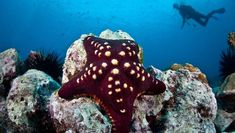 Leather star (Dermasterias imbricata):Found along the west coast of North America, from Alaska to Mexico, the leather star lives in the intertidal zone down to depths of about 300 feet where it dines on everything from algae to sponges to sea cucumbers. Meanwhile, it does its best to avoid the morning sun star, another species of sea star that makes a quick meal (well, relatively speaking) of the leather star. Leather stars make up to 50% of the diet of the morning sun star.