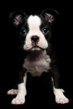 Boston Terrier Puppy on black - Brizendine Photography