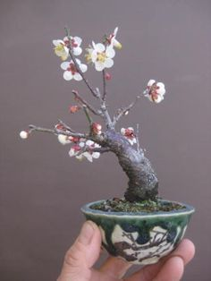 Okame cherry blossoms Bonsai workshop HaruYoshimi blog | February 2014