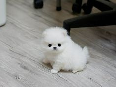 how much does a teacup pomeranian cost worlds third cutest dogs on pinterest teacup pomeranian 8878