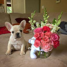 Birthday flowers from Daddy!  10 week old French Bulldog Puppy, #TakeOne