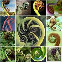 Koru - The unfolding spiral tipped shoots of the New Zealand silver fern plant become new fern fronds. Thus the reference to new life or a new start. Especially in Maori culture, these Koru have a strong symbolical meaning. Maori Words, Maori Symbols, Maori Patterns, Fern Frond, Maori Designs, New Zealand Art, Nz Art, Fibonacci Spiral, Fern Plant