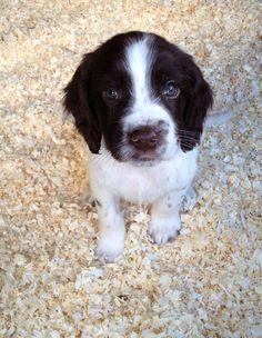 Springer_Spaniel_Puppies cute face