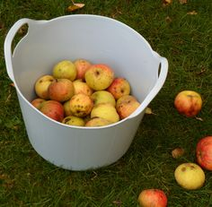 Collecting home grown Apples in a 15 Litre Duck Egg Blue Rainbow Trug www.rainbowtrugs.com