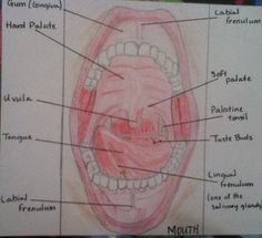Mouth diagram colored pencil drawing- Tenisha McLean