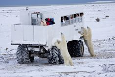 """Churchill is a town on the shore of Hudson Bay in Manitoba, Canada. It is most famous for having the largest population of polar bears that is south of the Arctic Circle. They move toward the shore from inland in the autumn, leading to the town's nickname """"Polar Bear Capital of the World"""" that has helped its growing tourism industry."""