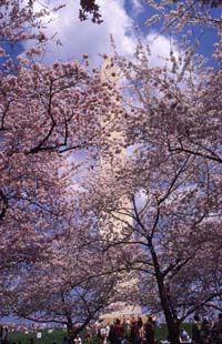 March 27, 1912 - The first cherry blossom trees, a gift from Japan, are planted in Washington, D.C.    There was a LONG struggle to get these trees and plant them...     check out the full story at the National Park Services website:  http://www.nps.gov/cherry/cherry-blossom-history.htm