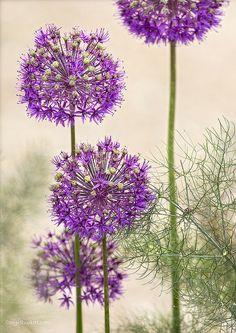 photo by Nigel Burkitt Bunch Of Flowers, Summer Flowers, Thread Painting, Diy Painting, Watercolor Flowers, Watercolor Paintings, Foto Transfer, Alcohol Ink Art, Agapanthus