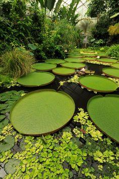 Giant lily pads at the Royal Botanic Garden in Edinburgh : BotanicalPorn Water Aesthetic, Lake Garden, Plant Fungus, Royal Garden, Water Flowers, Horticulture, Aesthetic Pictures, Botanical Gardens, Beautiful Gardens