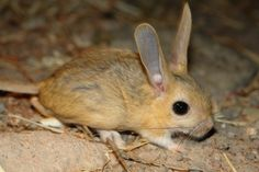 Williams' jerboa (Allactaga williamsi) is a species of jerboas native to Afghanistan, Armenia, Azerbaijan, Iran and Turkey. Kangaroo Rat, Rare Animals, Small Animals, Rodents, Hamsters, Im Falling In Love, Tasmanian Devil, Opossum, Wombat
