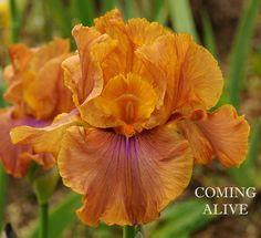 TB Iris germanica 'Coming Alive' (Grosvenor, 2005)