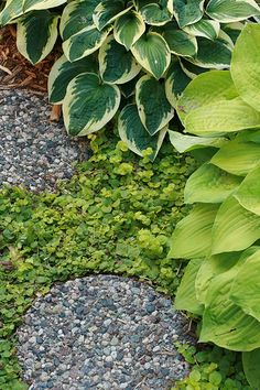 shaded garden pathway with hostas and a low ground-cover
