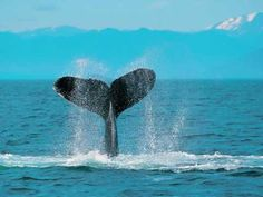 Whale Totem Meaning and Whale Symbolism on Whats-Your-Sign Sri Lanka, Animal Symbolism, Comme Des Freres, Totem Meaning, Lonely Planet, Les Fables, Kona Hawaii, Kailua Kona, Whale Watching