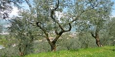 Gli ulivi del Monte Brione