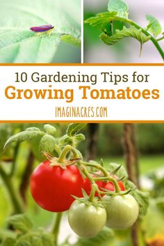 10 Gardening Tips for Growing Tomatoes: Growing tomatoes can be difficult, but with these 10 easy to understand tips, you'll be an expert in no time!