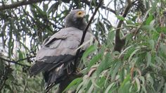 #birds #ornithology #nature African Harrier Hawk regularly steals young from cavity nests http://www.africanpremieradventures.com/?q=node/20  (scheduled via http://www.tailwindapp.com?utm_source=pinterest&utm_medium=twpin&utm_content=post97471055&utm_campaign=scheduler_attribution)