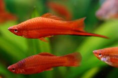 A relatively hardy and easy to care for livebearer, the swordtail is one of the most popular aquarium fish species among beginner aquarists. Swordtails get their name from the distinctive sword-like extension on the male's tail fin, which can sometimes grow almost as long as their bodies.
