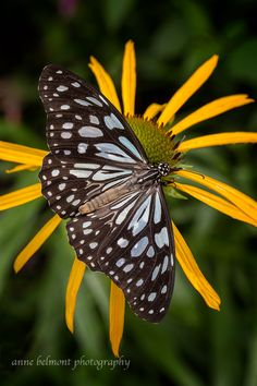 ~~Blue Tiger Butterfly by Anne Belmont Photography~~