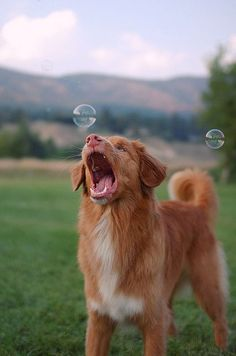 Pets Tips nova scotia duck tolling retriever…catching bubbles, that's too much lol! Sharing is caring, don't forget to share ! Cute Dogs And Puppies, I Love Dogs, Doggies, Pet Dogs, Cute Little Animals, Cute Funny Animals, Cute Animal Photos, Dog Photography, Dog Photos