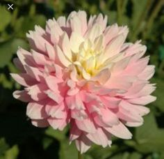 "Dahlia, ""Chilson's Pride"" (Prolific grower)"