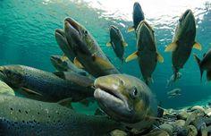 El asombroso ciclo de vida de los salmones - https://www.depeces.com/ciclo-de-vida-los-salmones.html