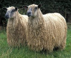 The amazing Leicester longwool - an old and rare sheep breed (you can see a small herd in Colonial Williamsburg).